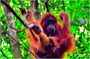 Orangutanes en la isla de Borneo, Indonesia.