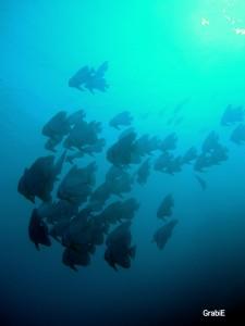 Batfish o peces murciélagos
