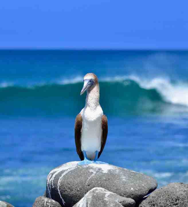 Piquero patas azules en Isla Seymour Norte (imagen propia)
